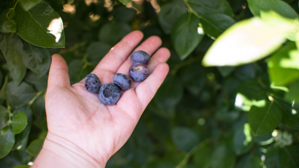 A person's hand holding freshly picked blueberries near a plant.