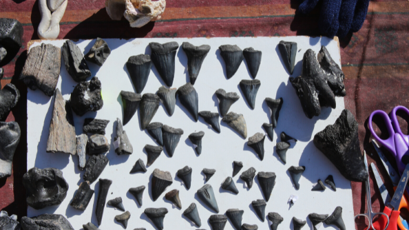 Various sized shark teeth are layed out on a table.